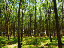 Árvores em Tailândia Imagem de Stock
