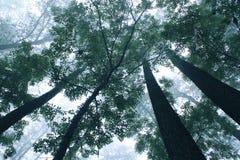 Árvores em um cenário nevoento da névoa imagem de stock