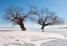 Árvores em um gelo Imagem de Stock