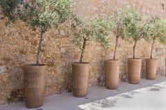 Árvores em um vaso de flores Imagem de Stock