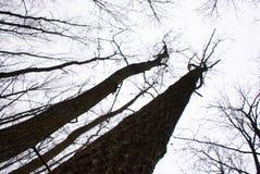 Árvores em uma diagonal Imagens de Stock