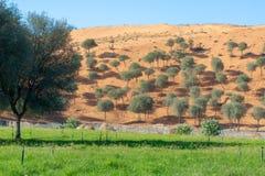 Árvores em uma duna de areia, grama na parte dianteira foto de stock