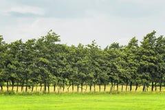 Árvores em uma fileira no campo Fotografia de Stock Royalty Free