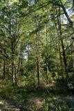 Árvores em uma floresta com luz do sol Foto de Stock Royalty Free
