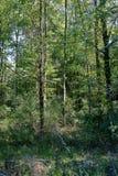 Árvores em uma floresta com luz do sol Fotografia de Stock