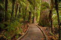 Árvores em uma floresta de madeira vermelha imagem de stock