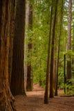 Árvores em uma floresta de madeira vermelha foto de stock royalty free