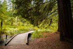 Árvores em uma floresta de madeira vermelha imagem de stock royalty free