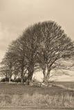 Árvores em uma parede Drystone imagens de stock