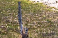 Árvores em Yellowstone Árvore Petrified fotografia de stock royalty free