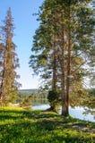 Árvores em Yellowstone fotografia de stock