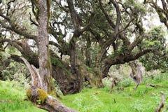 Árvores enormes com líquenes e epiphytes na floresta úmida da montanha de Tanzânia fotos de stock royalty free