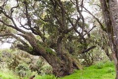 Árvores enormes com líquenes e epiphytes na floresta úmida da montanha de Tanzânia fotografia de stock royalty free
