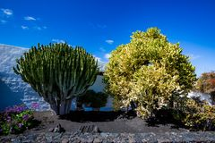Árvores enormes do cacto ao lado da casa do branco de Lanzarote imagem de stock