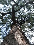 Árvores enormes que dá a máscara fotografia de stock royalty free