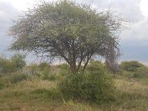 Árvores espinhosas fotos de stock