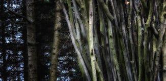 Árvores finas no fundo do pinho Imagem de Stock Royalty Free