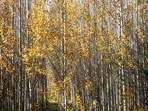 Árvores folheadas douradas no sol Imagens de Stock Royalty Free