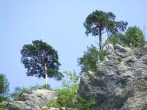 Árvores formadas pelo vento no desfiladeiro de Aareschlucht Imagens de Stock Royalty Free