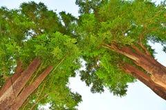 Árvores gêmeas fotografia de stock royalty free