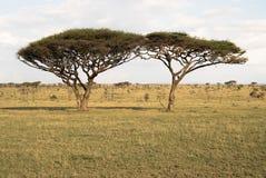 Árvores gêmeas da acácia Fotografia de Stock Royalty Free