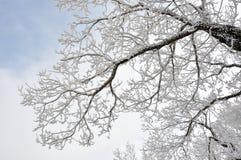 Árvores geadas Fotografia de Stock