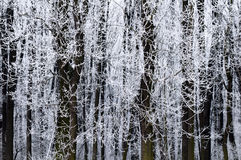 Árvores geadas no inverno Fotografia de Stock Royalty Free