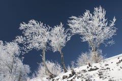 Árvores geadas no inverno Fotos de Stock Royalty Free