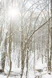 Árvores geladas Foto de Stock