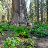 Árvores gigantes imagem de stock royalty free