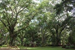 Árvores gigantes Imagens de Stock Royalty Free