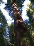 Árvores gigantes do Redwood fotografia de stock