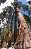Árvores gigantes do Redwood - celibatário e 3 benevolências Imagem de Stock Royalty Free