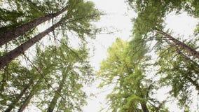 Árvores gigantes em Califórnia video estoque