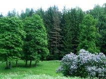 Árvores grandes de Pavlovsk na floresta Imagens de Stock Royalty Free