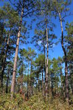 Árvores grandes do arvoredo imagens de stock royalty free