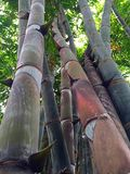 Árvores grandes do bambu do tronco Foto de Stock Royalty Free