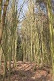 Árvores grandes em uma floresta em Melsungen perto de Kassel em Alemanha em um dia de inverno ensolarado Fotografia de Stock Royalty Free
