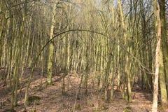 Árvores grandes em uma floresta em Melsungen perto de Kassel em Alemanha em um dia de inverno ensolarado Imagens de Stock Royalty Free