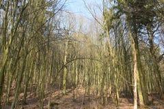 Árvores grandes em uma floresta em Melsungen perto de Kassel em Alemanha em um dia de inverno ensolarado Fotografia de Stock