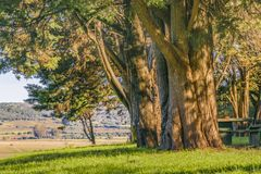 Árvores grandes no campo, Maldonado, Uruguai Foto de Stock