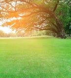Árvores grandes no jardim com gramado verde no por do sol Imagens de Stock