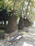 Árvores incomuns Platans da cidade de Porto portugal fotografia de stock royalty free