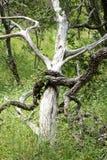 Árvores inoperantes Imagens de Stock Royalty Free