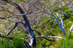 Árvores inoperantes altas nas montanhas fotografia de stock royalty free