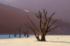 Árvores inoperantes de Camelthorn em Deadvlei no nascer do sol Imagem de Stock Royalty Free
