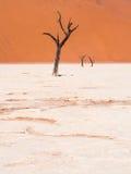 Árvores inoperantes de Camelthorn em Vlei inoperante, Namíbia Imagens de Stock Royalty Free