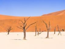 Árvores inoperantes de Camelthorn em Vlei inoperante, Namíbia Foto de Stock