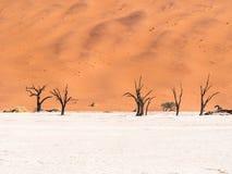 Árvores inoperantes de Camelthorn em Vlei inoperante, Namíbia Imagem de Stock