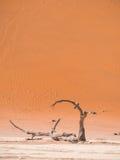 Árvores inoperantes de Camelthorn em Vlei inoperante, Namíbia Fotografia de Stock